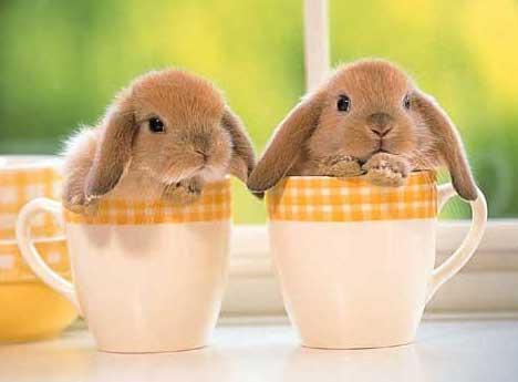 petit lapins bélier